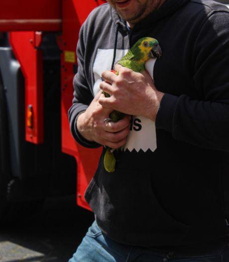 Brandweer haalt ontsnapte papegaai uit boom
