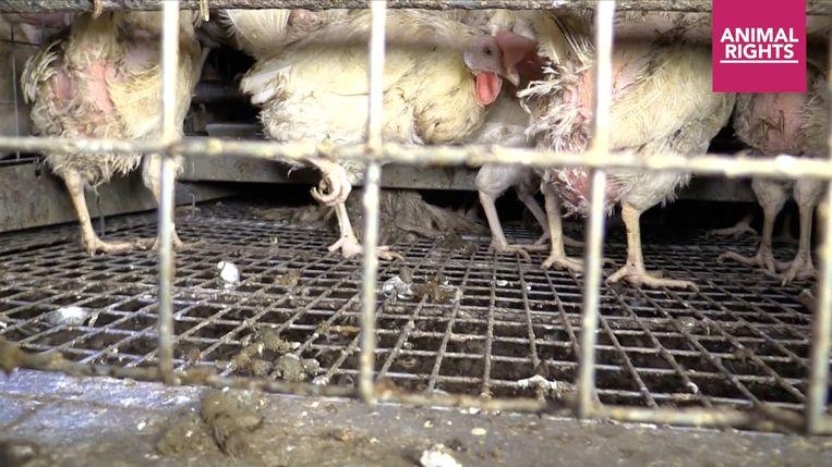 Animal Rights kaartte gisteren de mishandeling van legkippen bij het bedrijf Pyfferoen aan. Beeld RV / Animal Rights