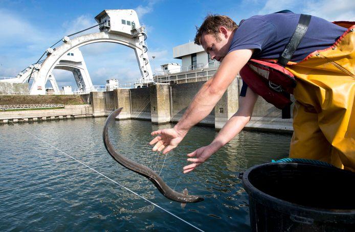 Bij de waterkrachtcentrale in Maurik worden palingen 'over de dijk' geholpen.