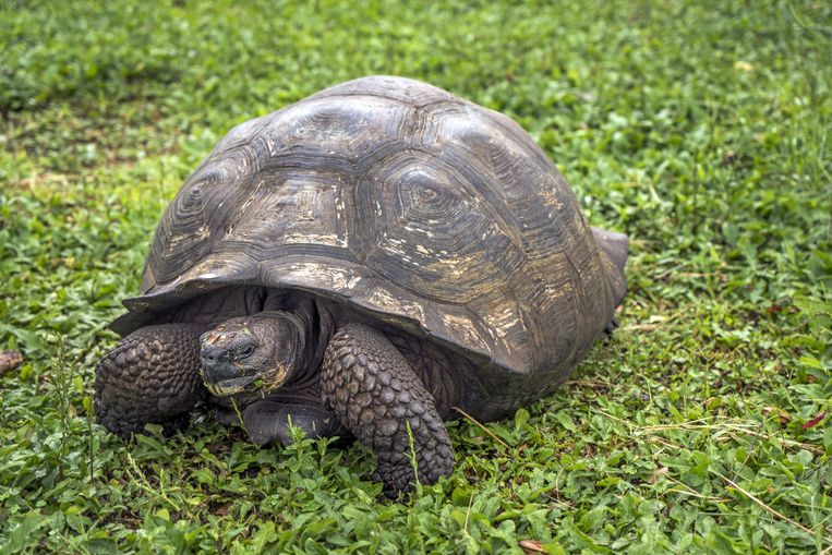 Een reuzenschildpad op de Galapagos. Beeld SZ Photo