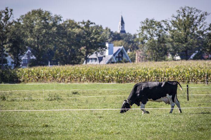 Een grazende koe, een perceel mais en op de achtergrond de bebouwing en kerk van Tubbergen