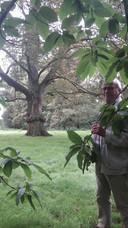 Fons van Dijk hoopt dat de gemeente Heusden geld uittrekt om de levensduur van de boom te verlengen.