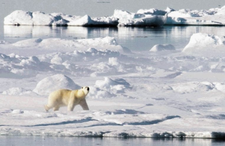 Een ijsbeer op de bevroren Noordelijke IJszee.   Beeld AP
