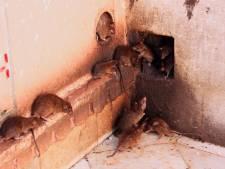 La Ville de Charleroi va s'attaquer aux rats