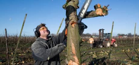 Er gaan 2200 appelbomen om in de boomgaard van René van Est