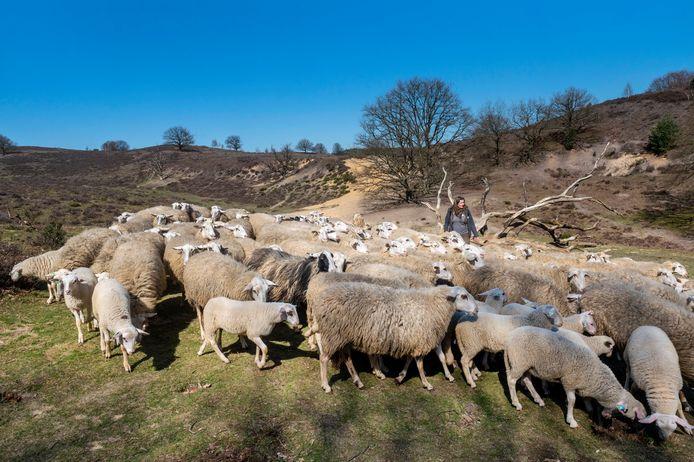 Voor het eerst weer de hei op. Herderin Cynthia Berendsen temidden van haar schapen op de Posbank.