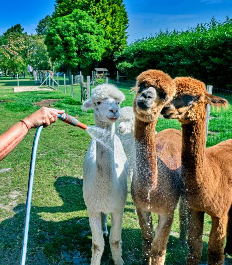 Lief! Een baby alpaca dartelt door de weide van Alpacake, terwijl je daar van je ontbijt of lunch geniet