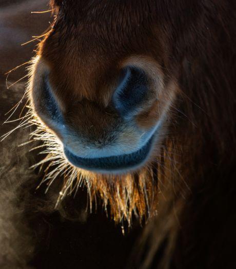 Dode pony's in Emst liggen nog steeds in stal: 'Ik ben klaar met dit horrorverhaal'