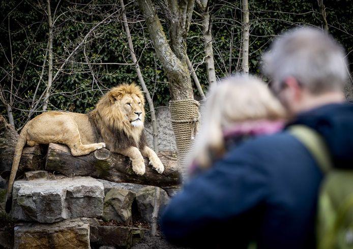 Een van de leeuwen van Artis in het huidige verblijf. Nu er een nieuw verblijf komt, hoeven de dieren niet weg.