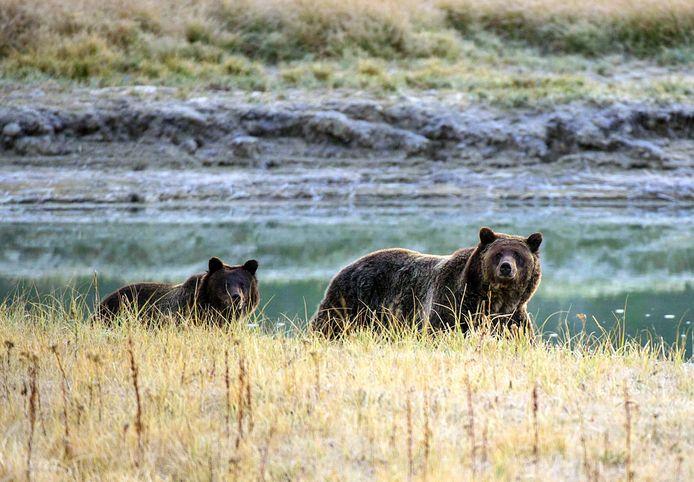 Een vrouwelijke grizzlybeer en haar berenjong in Yellowstone National Park, archiefbeeld.