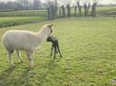 Een verrassing voor de familie Kwakernaak, op hun land werd vanochtend een baby alpaca geboren.