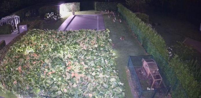Een bewakingscamera legt een nachtelijk avontuurtje van een groep everzwijnen vast op beeld.