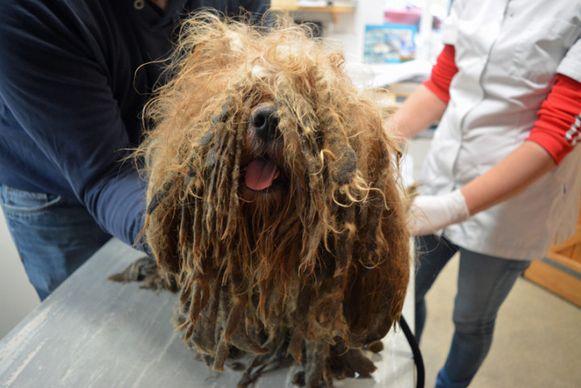 Bob nadat hij werd gevonden. Het hondje had veel pijn en moest onder narcose van zijn vacht verlost worden.