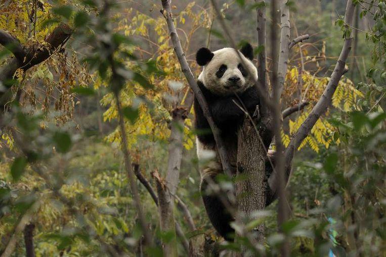 Zes in gevangenschap grootgebrachte reuzenpanda's zijn in de Chinese  provincie Sichuan uitgezet in een omheind bosgebied van twintig hectare.  De dieren worden daar voorbereid op een terugkeer naar de wildernis.<br /> <br /> Onderzoekers hopen dat de panda's, die hun nieuwe leefgebied woensdag  voor het eerst betraden, leren hoe ze naar voedsel moeten scharrelen en  hoe ze zich moeten voortplanten, zodat ze uiteindelijk in staat zijn  zichzelf te redden. De dieren zijn tussen de twee en vier jaar oud en  zijn uitgekozen vanwege hun goede gezondheid, hun gedrag en hun gunstige  genetische eigenschappen.<br /> <br /> Als de panda's met succes terugkeren naar het wild is dat een opsteker  voor natuurbeschermers die de diersoort proberen te redden. Beeld afp