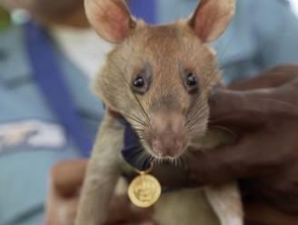 Mijnensnuffelende rat gaat op pensioen na indrukwekkende carrière
