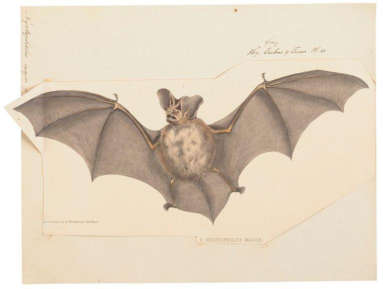 Gladneusvleermuis. Beeld Iconographia Zoologica: een papieren dierenrijkGeheugen van Nederland