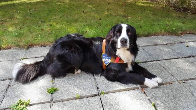 """Emotionele hulphond krijgt contract bij politie: """"Haar rust en zachtheid werken geruststellend"""""""