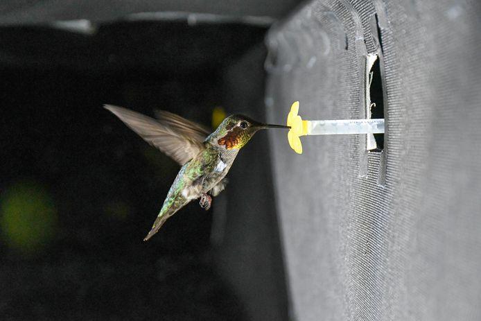 Een kolibrie fladdert in de onderzoeksopstelling voor de akoestische camera en haalt suikerwater uit de kunstbloem.