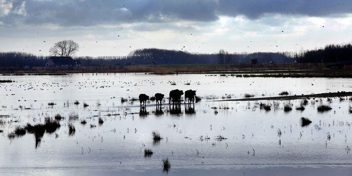 Hoog water in aantocht, de waterbuffels in de Noordwaard zoeken een veiligere plek.