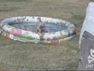 Hond wil in zwembad (maar niet met achterwerk)
