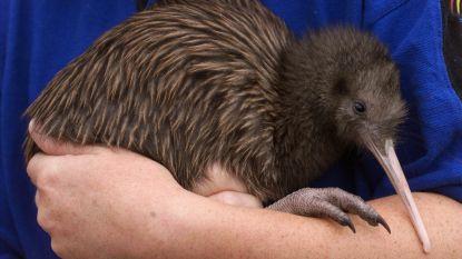 Weg met alle ratten en fretten: eigen dieren eerst in Nieuw-Zeeland