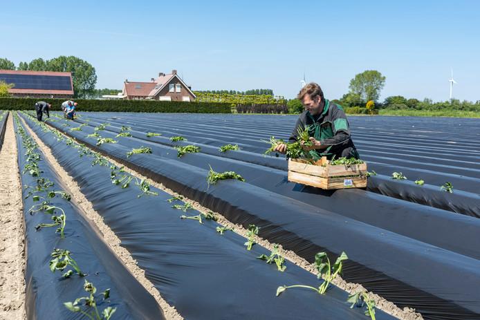 Johan Fase plant op een akker bij Sint-Annaland zoete aardappelen. Op de achtergrond Poolse krachten.