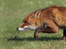 Met de vos mee op muizenjacht, al worden ook andere diersoorten verorberd