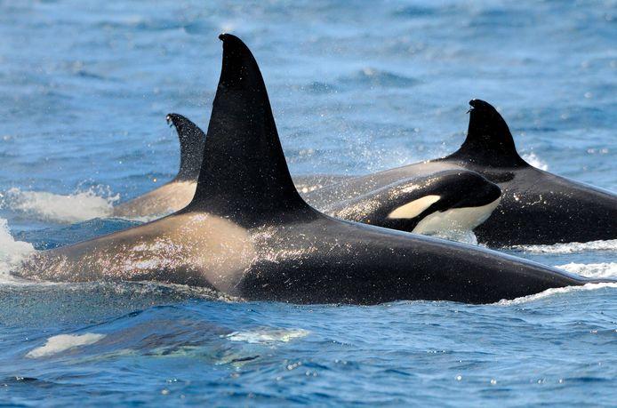 Orka's zijn indrukwekkende dieren. Volwassen mannetjes kunnen acht meter lang worden en wegen 10.000 kilo. Ze jagen in groepen. Deze tijd van het jaar maken zij in de Spaanse en Portugese wateren vooral jacht op tonijn.