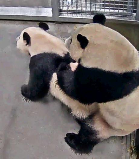 Verzorgers in extase: reuzenpanda's in Ouwehands hebben gepaard
