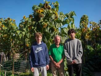 Kleinkinderen kweken hogere zonnebloemen dan opa