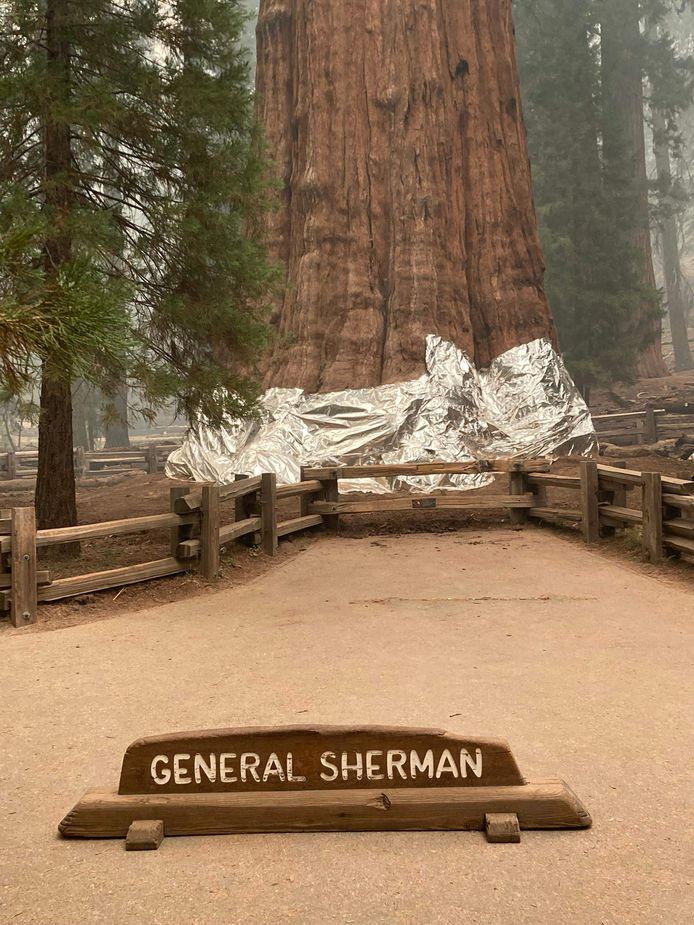 De boom General Sherman is in folie gewikkeld om hem te beschermen.
