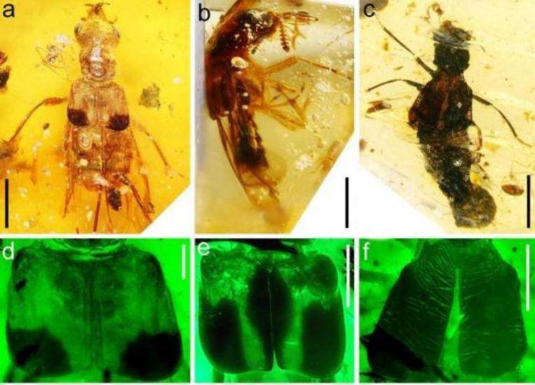 Ook 125 miljoen jaar oude kevers werden in amber teruggevonden. Beeld Cai et al