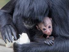 Snoepje van een baby voor slingeraap Choco bij Apenheul