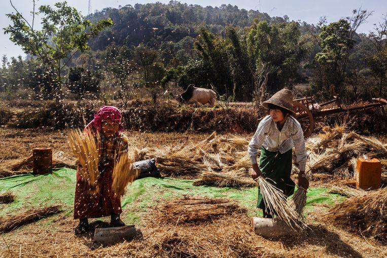 Landarbeiders dorsen graan in de buurt van het Inlemeer. Beeld Aurélie Geurts