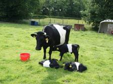 Koe in Hulshorst huilt al anderhalve dag om haar ontsnapte kalfje