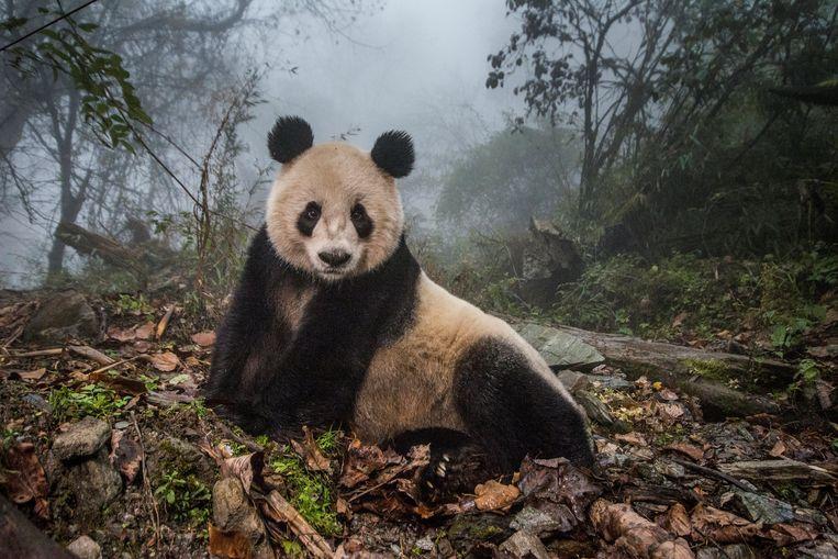 Ye Ye, een 16 jaar oude panda, in het Wolong Nature Reserve in China. Beeld REUTERS