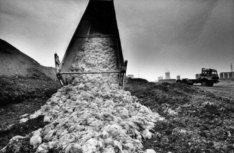 In 1999 kwamen in ons land ongeveer 50 kg pcb's in de voedselketen terecht. Dit gaf aanleiding tot de dioxinecrisis, waarbij op grote schalen kippen werden geruimd.  Beeld Tim Dirven