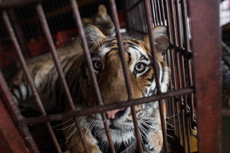 Attractieparken in China die zich dierentuin noemen en het niet zo nauw nemen met de regels van dierenwelzijn. Beeld AFP