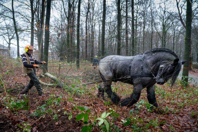 Reind Beelen sleept met trekpaard Marco stammen weg uit park Klarenbeek.