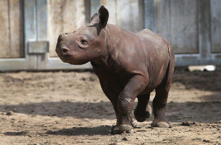Een baby-neushoorn in een dierentuin Beeld getty