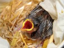 Veel onrust bij Vogelopvang De Mikke. Hulp aan gewonde dieren staat op losse schroeven