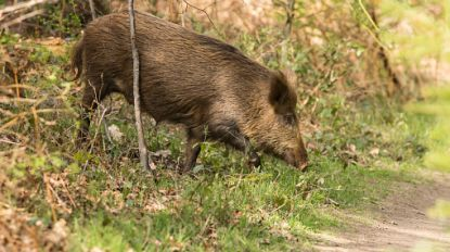 Ministerraad maakt 2,2 miljoen euro vrij om Afrikaanse varkenspest te bestrijden