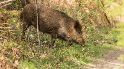 Ook wilde zwijnen rond besmettingszone van Afrikaanse varkenspest worden afgemaakt