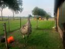 De ontsnapte emoe bleef niet onopgemerkt in Oosterhesselen (Drenthe).