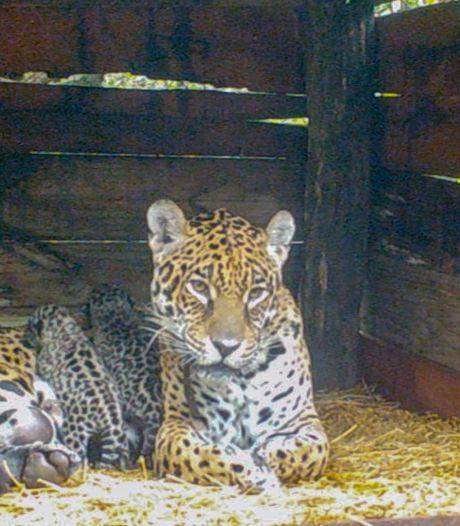 Man gewond nadat hij jaguar treitert in een dierentuin