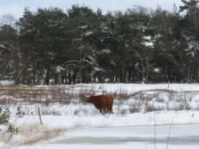 Is jonge Schotse hooglander door het ijs gezakt op De Sprengenberg? Natuurmonumenten gaat drinkvijver onderzoeken