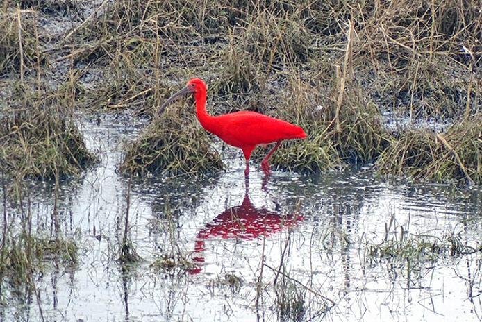 Een rode ibis is in de uiterwaarden van de Waal bij Herwijnen op zoek naar voedsel.