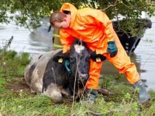 Hulpdiensten hinderen scheepvaart tijdens redding van koe die de Maas was ingedoken