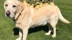 VIDEO. Hond ontfermt zich over negen eendenkuikens
