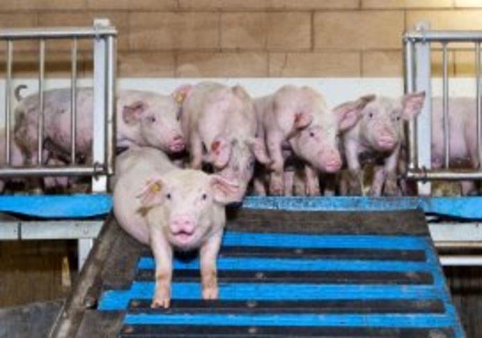Varkens op weg naar het slachthuis